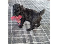 Stunning Miniature Poodle Puppies Silver/Black