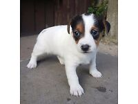 TRI COLOUR JACK RUSSELL PUPS **** 1 MALE LEFT ****
