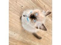 Pure Ragdoll male kitten.