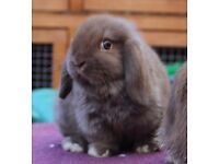 MINI LOP RABBITS