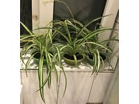 PLANT Large Spider plants. £5 each. OFFER!!! Or £8 for 2 pots