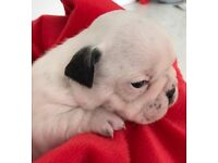 Gorgeous kc reg French bulldog puppies from health tested parents
