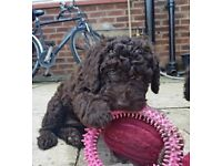 Two stunning Springer doodle girls looking for loving home