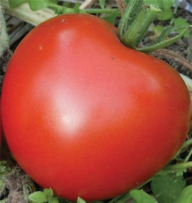 TOMATO SEEDS - Bonny Best 30 + Seeds Organic Seeds Non GMO  Old Heirloom Variety