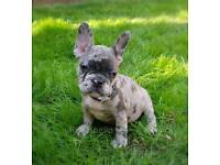**REDUCED** French Bulldog Puppies - Merle Blue