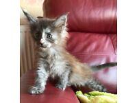 Stunning Purebred Pedigree Maine Coon Kittens