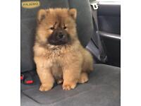 Chow chow female kc registered