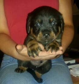 Rottweiler pup's for sale