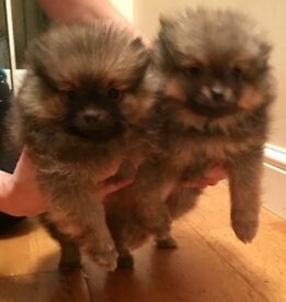 2 Pedigree Pomeranian Puppies - 1 Boy puppy & 1 Girl puppy - Ready now!