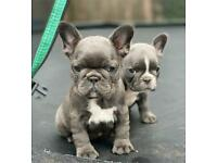 French Bulldogs GIRLS ready on 3rd OCT 2020