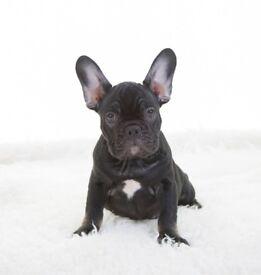french bulldog 12 weeks (Sox)