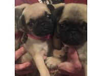6 gorgeous pug puppies for sale