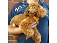 stunning k.c reg health tested red Toy Poodle 7 months old