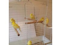 X6 roller canarys lovely singers great pets
