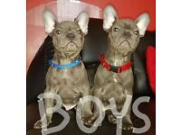 KC blue french bulldog puppies 12 weeks old
