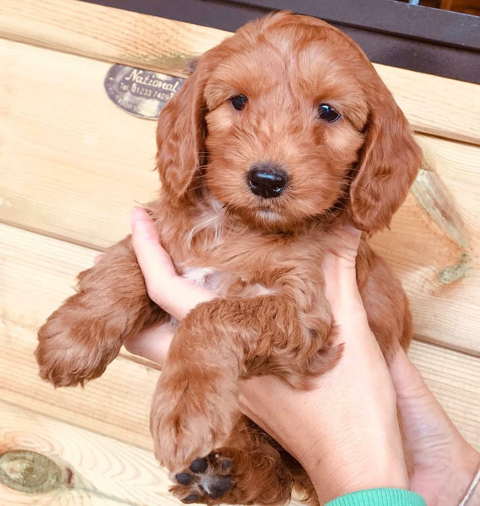 Adorable Cockapoo Puppies 1 Boy Left  In Staplehurst -3294