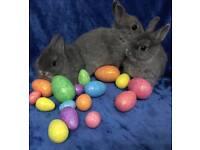 Netherland dwarf baby bunnies rabbit small little rabbit ideal pet blue grey chinchilla not minilop