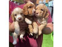 3 boys 1 girl F2 cockerpoo pups for sale