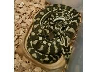 Diamond Jungle Carpet Python