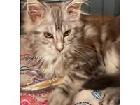 Beautiful Silver Main Coon Tabby Kitten for sale