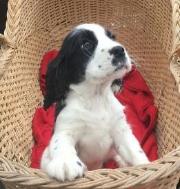 Sprocker Spaniel Pups