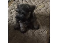 Miniature schnauzer puppies for sale. Salt and pepper, KC registered and ready for new homes