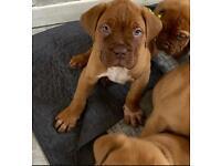 ***READY NOW ***Dogue de Bordeaux Pups