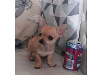 T CUP FEMALE CHIHUAHUA READY NOW £800