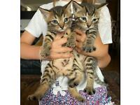 Beautiful kittens part Bengal looking for loving home