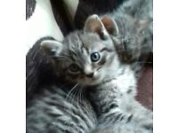 BEAUTIFUL TABBY AND GREY KITTENS