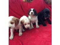Stunning sprocker pups