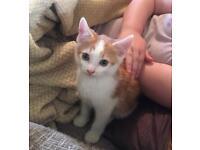 Ginger kittens. Ready now!