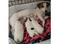 3 lovely Jack Russell Terrier females for sale.