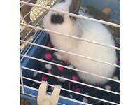 Lionhead rabbits £15