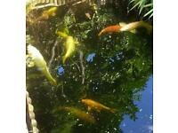 KOI CARP FOR SALE - VARIOUS COLOURS AND SIZES