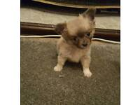 Chihuahua puppy's for sale
