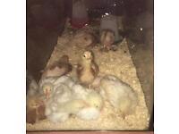 Chicks /chickens