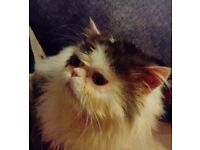 For sale beautiful persian male