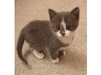 #3 Grey Female Kitten with White Markings