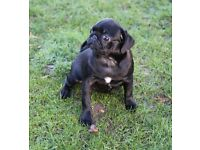Gorgeous male pug puppy for sale
