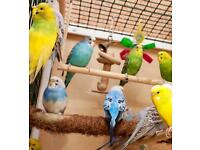 Baby Budgies for Sale - Assorted Colours and Types