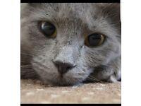Beautiful stunning ashy grey female cat