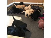 Labrador Puppies, KC registered / health tested parents