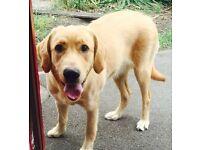 Full Labrador for sale.