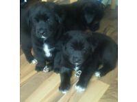 Beautiful Akita Cross puppies