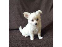 Beautiful CHIHUAHUA Girl pup