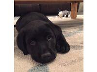 11 week old Labrador puppy