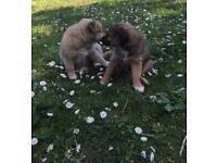 Pomeranian/ shih tzu puppies for sale