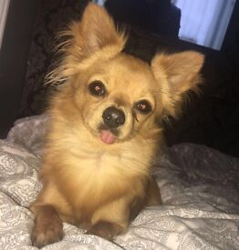 Male chihuahua dog 16 months old excellent with children £300