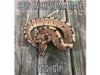 Cb16 Male and Female Enchi Woma Royal Pythons